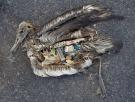 albatross-dead-plastic-by-chris-jordan-from--com