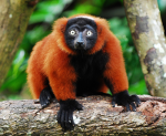 red-lemur-from-amazonaws
