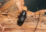 mntn-pine-beetle-from-the-cbc