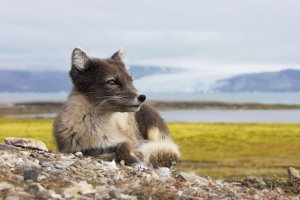female-arctic-fox-svalbard-norway-from-imagenesygraficos.com
