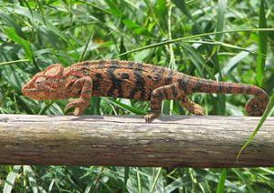 Caméléon_Madagascar_02-from-wp