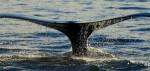 whale-flukes-from-raincoast.org