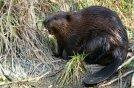 beaver01-from-tnot