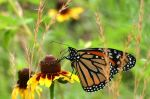 By Clinton & Charles Robertson from Del Rio, Texas & College Station, TX, USA (Monarch) [CC-BY-SA-2.0 (http://creativecommons.org/licenses/by-sa/2.0)], via Wikimedia Commons