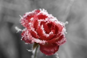 Frosted_rose_01-from-wc