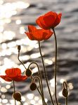 Poppies_in_the_Sunset_on_Lake_Geneva-from-wp