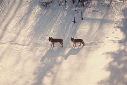 By Superior National Forest (wolves  Uploaded by AlbertHerring) [CC-BY-2.0 (http://creativecommons.org/licenses/by/2.0)], via Wikimedia Commons