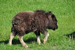 Baby_musk_ox-from-wc