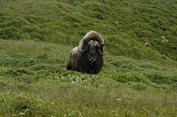 Musk_Ox-from-wc