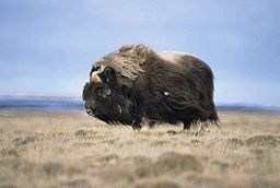 Musk_ox_bull_animal_ovibos_moschatus-from-wc