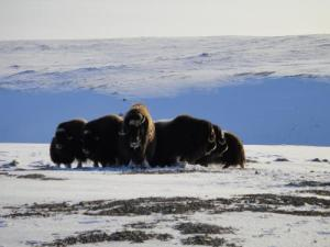 muskox-by-randy-nungaq-from cwf-fcf.org