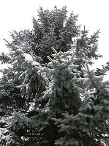 By Klearchos Kapoutsis from Paleo Faliro, Greece. (Snowy Tree) [CC-BY-2.0 (http://creativecommons.org/licenses/by/2.0)], via Wikimedia Commons