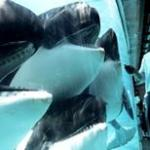 orcas-in-captivity