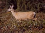 Mule_Deer_at_Clearwater_Pass_2-from-wp