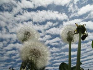 dandelions-from-cwf-by-david-gerrie