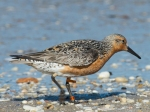 moonbird_red_knot_600-from-philly.com