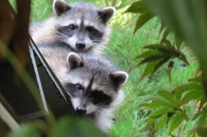 raccoons-from-cwf-by-sue-morgan