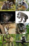 Lemuroideakrom-wp