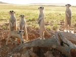 meerkats3d-08_51273_600x450-from-ng