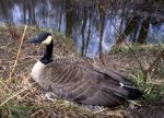 Canada_Goose-from-wc