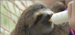 baby sloth-from pbs