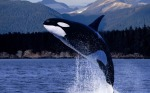 orca leaping
