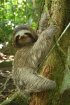 PICTURE SHOWS: Three-toed Sloth