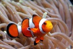 ARCHIV - Ein Clownfisch (Amphiprion clarkii - Archivfoto vom 30.08.2005). Sprechen wie der Filmfisch Nemo können echte Clownfische zwar nicht, durch die Bewegungen ihrer Kiefer und das Aufeinanderreiben der Zähne erzeugen sie aber verschiedene Zirp- und Knackgeräusche. Die Laute erinnern an eine knarzende Tür, berichten Forscher im Fachblatt Science nach einer Untersuchung. Foto: Ahmad Yusni (zu dpa-Meldung vom 17.05.2007) ACHTUNG SPERRFRIST 17. Mai, 20.00 Uhr +++(c) dpa - Bildfunk+++