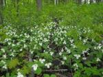 trilliums by Ross Farrow from cwf