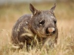 wombat from n~g~.com