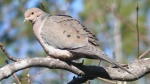 Mourning_Dove-27527