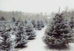 christmas-tree-farms-8
