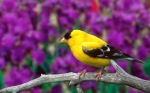 american-goldfinch-hd-wallpapers-cool-desktop-widescreen-pictures