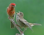 house-finch-and-baby-10-75-_0217