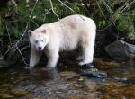 spirit-bear-watching-telegraph-cove-canada1152_13004220395-tpfil02aw-18335