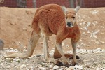 red_kangaroo_-_melbourne_zoo