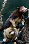 tree-kangaroo-and-baby