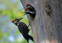Pileated+Woodpecker+at+Otsego+Marsh_Mark+Martin